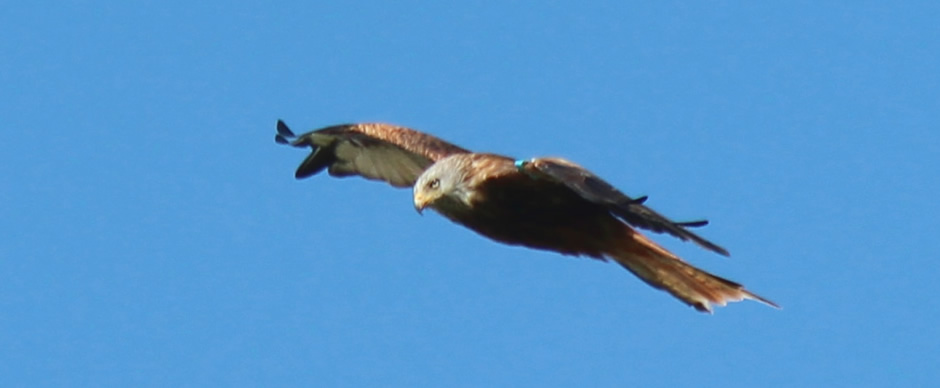 Black Isle Red Kite